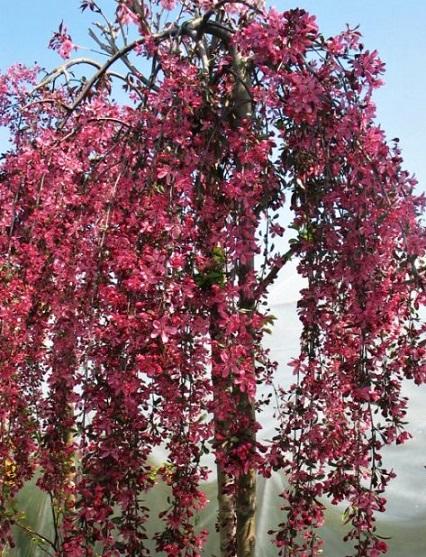 яблуня Royal Beauty Garden